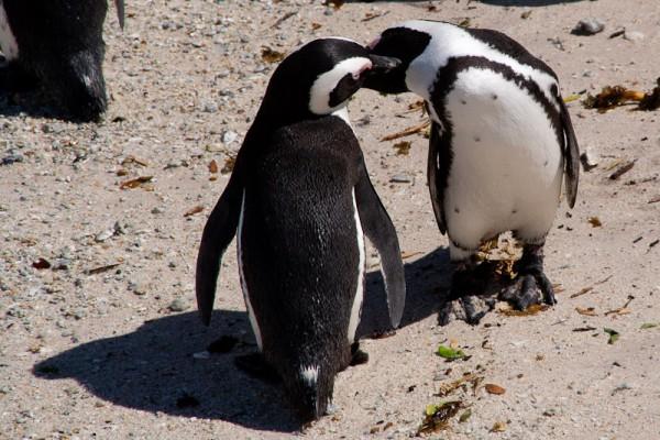 02. Колония пингвинов. Поцелуи.