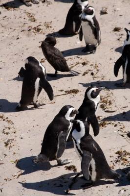 02. Колония пингвинов. Тоже пингвин.