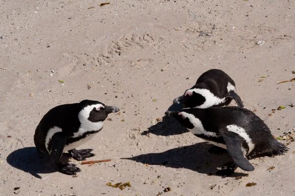 03. Колония пингвинов. Разборки.