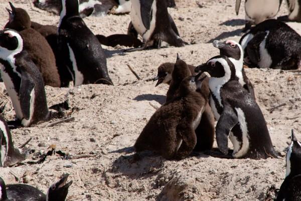 04. Колония пингвинов. Дети.