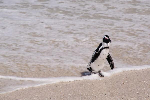 04. Колония пингвинов. Купальщики.