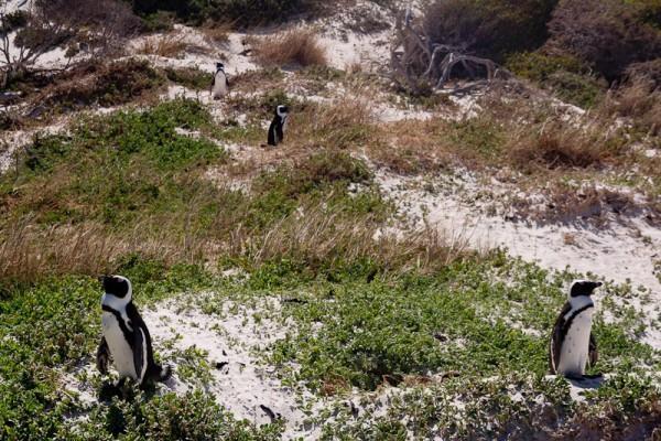 05. Колония пингвинов. Любители травы.
