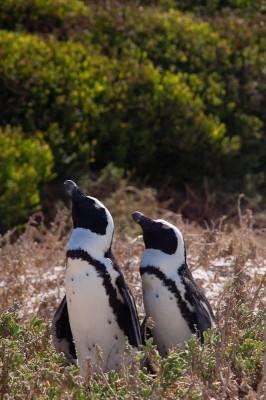08. Колония пингвинов. Парочка