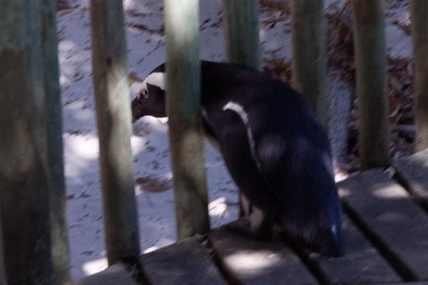 10. Колония пингвинов. Беглец