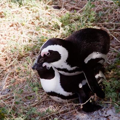 13. Колония пингвинов. Поза пингвина