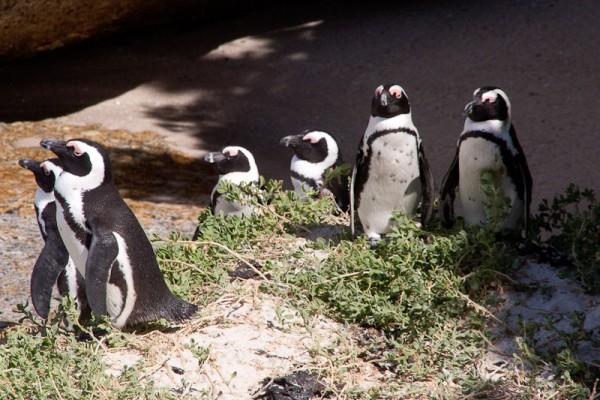 14. Колония пингвинов. Нет, мы не смотрим