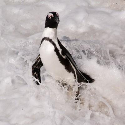 15. Колония пингвинов. Купальщик