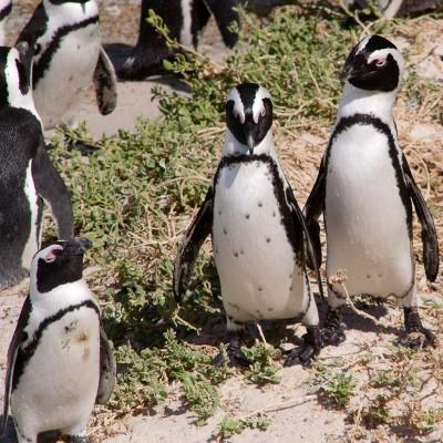 16. Колония пингвинов. Ухаживальщик